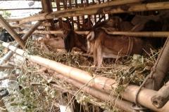jual kambing di surabaya