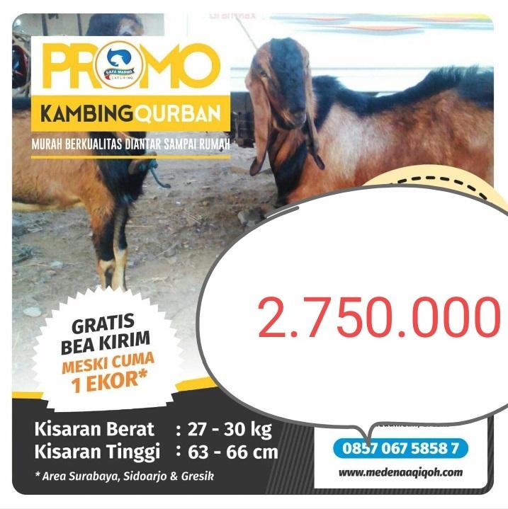 Kambing Qurban 2.750.000