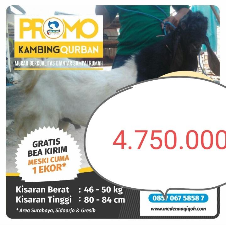 Kambing Qurban 4.750.000