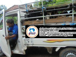 paket aqiqah di sidoarjo  300x225 Jual Sapi Qurban di Surabaya
